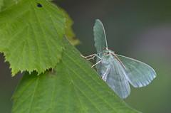 Hiidvaksik; Geometra papilionaria; Large Emerald (urmas ojango) Tags: lepidoptera liblikalised insecta insects putukad moth vaksiklased geometrapapilionaria geometridae hiidvaksik largeemerald nationalmothweek