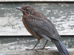 Young Blackbird in the Garden (blue33hibiscus) Tags: blackbird garden somerset