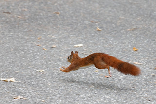Squirrel - in a hurry