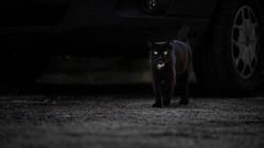 Gino, Our black Panther (voxpepoli) Tags: blackcat cat black cats ilovemycat catoftheday catlover kitten kittens catlovers meow blackcatsrule cute gato pets love katze panther catsofworld blackpanther pleasantcats whiskers animal animals blackkitten