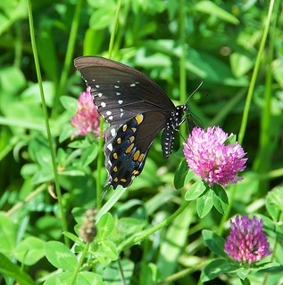 black butterfly from the hayfield
