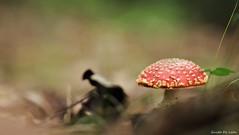 Amanita M. (Guido De León) Tags: hongos naturaleza montaña