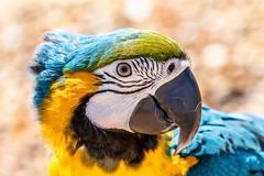 Rio the Macaw (ian_tilden) Tags: portrait closeup blueandyellow wow colourful felixstowe landguardpoint orwell stour estuary sea beach bird parrot macaw psittacidae