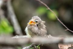cry for help (long.fanger) Tags: centreville virginia babybird utilityeasement