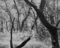 Branch,Tree and Wind (Hyons Wood) (Jonathan Carr) Tags: wind ancientwoodland blackwhite monochome ruralnortheast 4x5 largeformat landscape trees