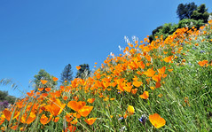 Californian Poppy   Yosemite National Park, California (Ping Timeout) Tags: yosemite national park california west coast united states usa us sierra nevada service world heritage site valley granite cliff outdoor rugged rough terrain elevation water waterfall stream river mountain wilderness nature forest redwood giant sequoia geology april 2018 killer miwok glacier ice public flower bloom wildflower wild hill green eschscholzia californica golden cup gold sky blue spring summer garden bright colour orange color 加州 カリフォルニア