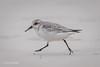 Sanderling in a hurry D85_1605.jpg (Mobile Lynn) Tags: sanderling birds nature wild bird calidrisalba fauna wildlife tortugabaysantacruzisland galapagosislands ecuador ec