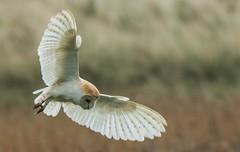 Barn Owl hunting (toothandclaw1) Tags: bird owl barn raptor hunting countryside