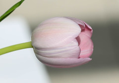 Flower (LuckyMeyer) Tags: flower fleur tulip tulpe garden spring rosa pink white green