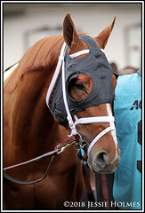 Vino Rosso (Spruceton Spook) Tags: horseracing horses aqueduct derbypreps vinorosso woodmemorial enticed