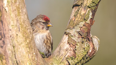 Lesser Redpoll ( Female ) (- A N D R E W -) Tags: female lesser redpoll bird animal nature naturaleza spring primavera ramas branch perched bokeh depthoffield dof tree wildlife color colorful vibrant red rojo blue azul green verde arbol seasonal uk north east canon 80d tamron 150600mm flickr sun sol sunlight luz evening april