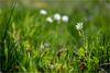 colors of spring . (:: Blende 22 ::) Tags: deutschland germany hessen spring springtime blumen gras wiese grün weis blüten canoneos5dmarkiv ef70200mmf4lisusm frühling hessian meadow white blossom green dof