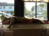 (turgidson) Tags: panasonic lumix dmc g7 panasoniclumixdmcg7 panasonicg7 micro four thirds microfourthirds m43 g lumixg mirrorless x vario 35100mm 35100 f28 hhs35100 telephoto zoom lens panasonic35100 panasoniclumixgxvario35100mmf28 silkypix developer studio pro 7 silkypixdeveloperstudiopro7 raw cat feline pet animal tinker asleep window sill windowsill open spring stretch gato one eye oneeye permawink bray wicklow ireland p1240150 radiator