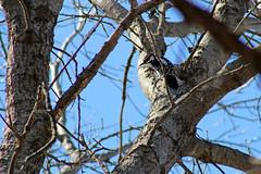 Hairy Woodpecker (U.S. Fish and Wildlife Service - Midwest Region) Tags: nature wildlife minnesota mn april 2018 spring bloomington bird birds birding woodpecker woodpeckers animal animals