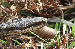 Flickr! (Steviethewaspwhisperer) Tags: adder viper snake snakes adders vipers glenesk tongueflicks tongue flick flicks flickr