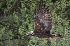 Golden Eagle (karenmelody) Tags: accipitridae accipitriformes alaska animal animals aquilachrysaetos bird birds goldeneagle usa vertebrate vertebrates nearnome