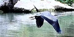 QUICK FLIGHT, ACA PHOTO (alexanderrmarkovic) Tags: blueheron acaphoto scaroroughblufferspark scarborough ontario canada