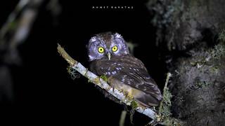 PAÇALI BAYKUŞ (Aegolius funereus) - Boreal Owl