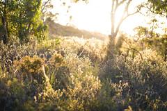 Sunset in the bush (Mister Rad) Tags: nikond600 tokina100mmf28 westernaustralia perth gooseberryhill bush sunset