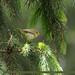 Brooks's Leaf Warbler (Phylloscopus subviridis)