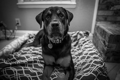 Our baby girl (tilmonphotography) Tags: inside pup flashphotography nikon dogdaughter rotti babygirl puppy dog rottie