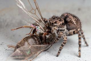 Jaguar Jumping Spider with Prey - _TNY_5733