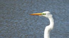 Garça - Great Egret - explore (sileneandrade10) Tags: sileneandrade ardeaalba greategret ardeidae arachloropterus pássaro nikoncoolpixp900 nikon animal ave