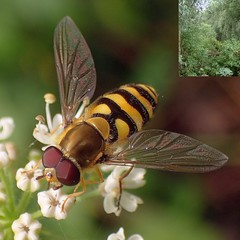 Repetition. Epistrophe grossulariae, Repetitive Hoverfly, and a Jungle, Diemer Vijfhoek, Over-Diemen, Amsterdam, The Netherlands (Rana Pipiens) Tags: overdiemenamsterdamthenetherlands green repetitivehoverfly epistrophegrossulariae nuonpowerstationamsterdamthenetherlands swamp jungle diemervijfhoekoverdiemenamsterdamthenetherlands mosquitoes batikshirt ijmeeramsterdamthenetherlands diemerzeedijkamsterdamthenetherlands buzznbugz