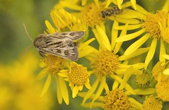 AntlerMoth (Tony Tooth) Tags: nikon d7100 sigma 70mm macro moth insect antlermoth cerapteryxgraminis ragwort wildlife flash staffs staffordshire staffordshiremoorlands
