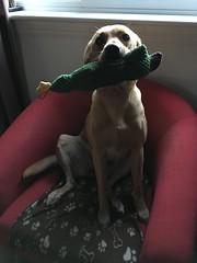 I got squeaky (What I saw...) Tags: lexi rescue dog labrador sspca