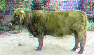 Highlander-cow op Eiland van Brienenoord Rotterdam