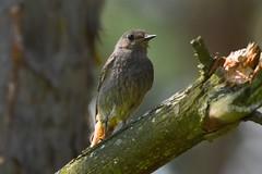 Codirosso (lucamarasca1) Tags: 150500mm sigma nikond5500 nikon wildlife nature uccelli birdwatching bird