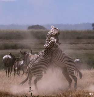Zebra Fight _03