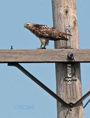 Red-tailed Hawk - Buteo jamaicensis (N.Clark) Tags: hawks birds birdsofprey redtailedhawk buteojamaicensis buteos birdsofmanitoba bird wildbirds