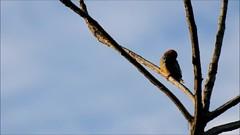 Melanerpes rubricapillus (Diana Padrón) Tags: melanerpes rubricapillus carpintero habado redcrowned woodpecker