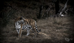 """The Look Back"" (cjpk1) Tags: tiger amur stripes cat big siberian"
