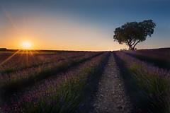 lavender-sunset (invesado) Tags: brihuega sunset lavender nikon 20mm filters