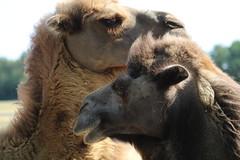Napoleon  &  Josephine (excellentzebu1050) Tags: camel closeup camelus camelusbactrianus field farm animal summer2018 animalportraits animals coth5 sunrays5