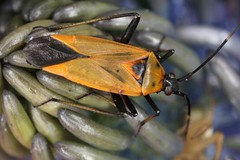 Calocoris nemoralis (Fabricius 1787) = Cimex nemoralis Fabricius, 1787. (chug14) Tags: macro insecte punaise unlimitedphotos animalia arthropoda hexapoda insecta hemiptera heteroptera miridae mirinae mirini cimexnemoralis calocorisnemoralis