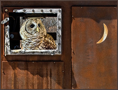 Just for Fun! (Birds&More) Tags: owl barredowl fermilab
