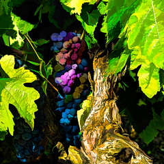 Hidden (docoverachiever) Tags: grapevine vineyard plant grapes processed digitalart abstract rural colorful vine hss