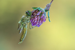 DSC_4998 (Masaco 76) Tags: macro macronature macrodreams mundomacro libélula flowers focusstacking nature naturaleza ngc nikon closeup campo proxy