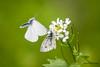 Proposition indécente (Jacques GUILLE) Tags: accouplement pieris lépidoptère papillon pieridae piéride