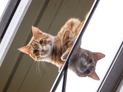 Mirror [EXPLORED] (theSnoopyG - thanks for over 1/2 million views!) Tags: cat cats red redcat balcony edge reflection reflex réflexion reflections riflesso ritratto riflessi portrait look looking intenselook double twins lines tabby tabbycat