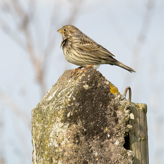 Corn Bunting on a Concerte Post