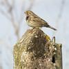 Corn Bunting on a Concerte Post (stevedewey2000) Tags: salisburyplain wiltshire birds bird cornbunting bunting fencepost posts concrete structure tamron150600