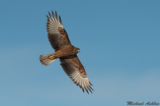 Australasian Harrier in flight (Circus approximans)