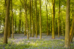 Oakfirth Wood, Wiltshire 2006 (shawn~white) Tags: england nature uk urchfont wiltshire beauty beech bluebells deciduous flower forest forestry hardwood serene serenity tranquil tree trees wood woodland woods unitedkingdom gb