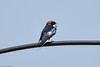 WIRE TAILED SWALLOW (stewartbentley46) Tags: africa pemba swallow tanzania wiretailedswallow