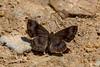 Calephelis sp - IMG_4908 (tarcpava) Tags: calephelis sp lepidopteros borboletas butterflies serra do japi jundiai sao paulo brasil brazil meio ambiente environment fauna vida selvagem wildlife azul marrom blue brown